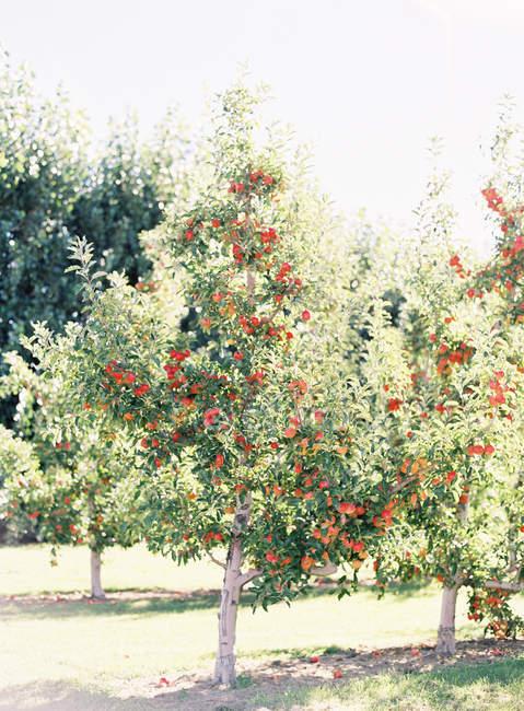 Apples growing on tree — Stock Photo