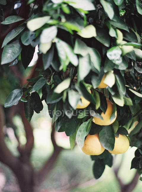 Oranges growing on tree — Stock Photo