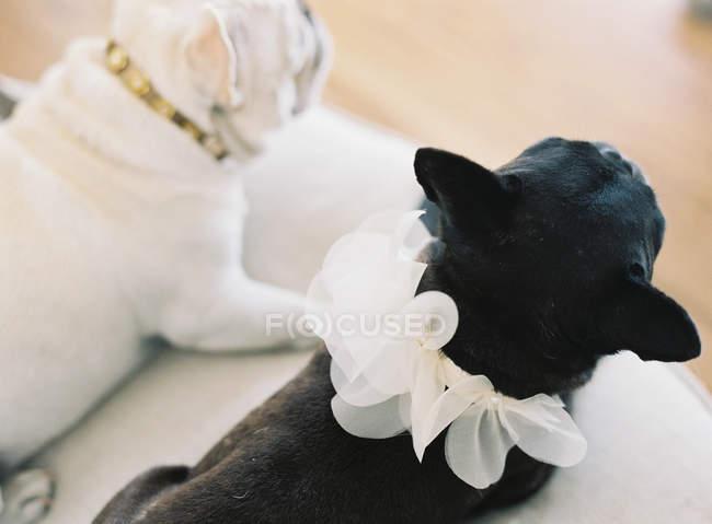 Carino bianco e nero bulldog francese — Foto stock