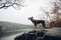 Laika howling while standing on stone cliff — Stock Photo