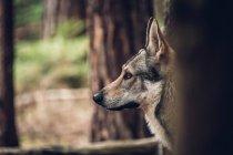 Laika стоя в лесу — стоковое фото