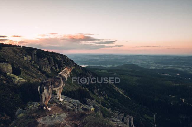 Laika stehen auf Berg — Stockfoto