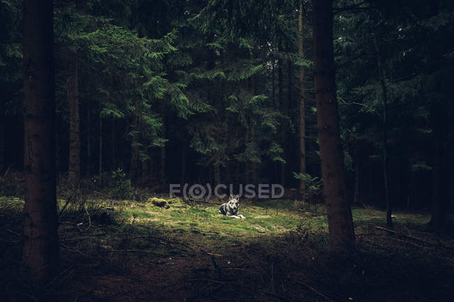 Laika lying on ground in forest — Stock Photo