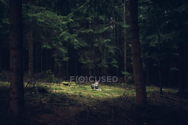 Лайка, лежа на земле в лесу — стоковое фото
