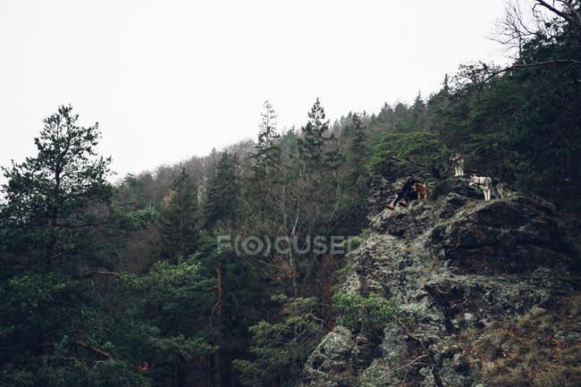 Forêt de pins sur la pente de la montagne — Photo de stock
