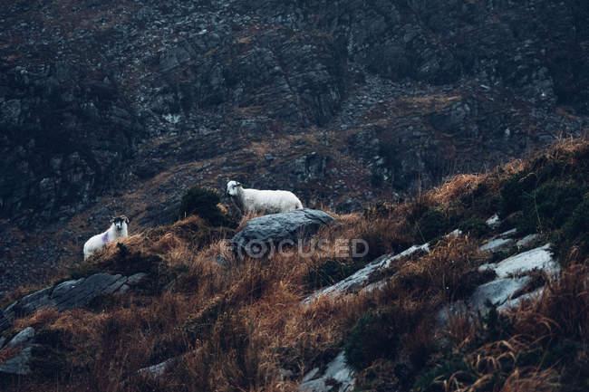 Commandes de moutons sur les Rocheuses — Photo de stock