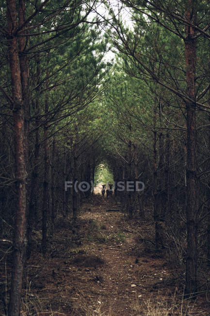Deer standing in forest clearing — Stock Photo