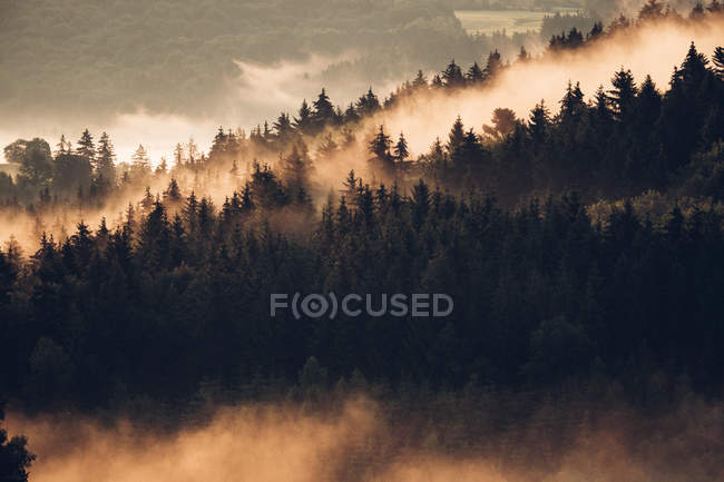Forêt de pin recouverte de brouillard le matin — Photo de stock