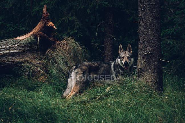 Commandes de chien dans la dense forêt de pins — Photo de stock