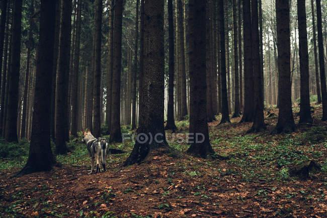 Лайка, стоя в плотной сосновый лес — стоковое фото