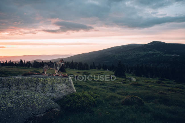 Lonely wolf dog on cliff edge — Stock Photo