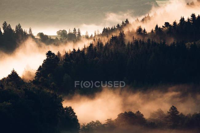 Niebla que cubre los pinos en la ladera de la montaña - foto de stock