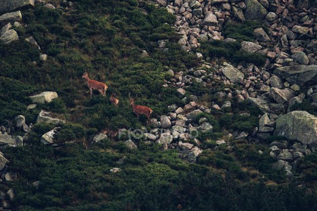 Famille de Rennes sur la pente de la montagne rocheuse — Photo de stock