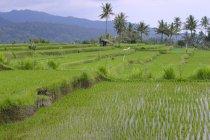 Arrozales y terrazas de arroz - foto de stock