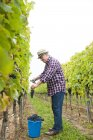 Winemaker harvesting grapes in vineyard — Stock Photo