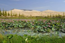 Blossoming lake in front of sand dunes in Vietnam, Asia — Stock Photo
