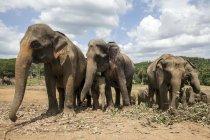 Азиатские слоны, нагула в Пинаввале слон приют, Pinnawala, Шри-Ланка — стоковое фото