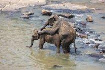 Éléphants asiatiques accouplement Maha Oya rivière, Pinnawala, Sri Lanka, Asie — Photo de stock