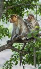 Couple of Rhesus monkeys grooming on tree branch in forest of Tamil Nadu, India, Asia — Stock Photo