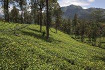 Highlands plantation of tea plants at Glenloch Tea Factory, Thawalanthenna, Sri Lanka — Stock Photo