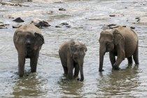 Стадо азиатских слонов купание в Маха Ойа реки, Пиннавела, Центральная провинция, Шри-Ланка — стоковое фото