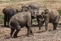 Éléphants asiatiques jouant à Pinnawala éléphants orphelinat, Pinnawala Sri Lanka — Photo de stock