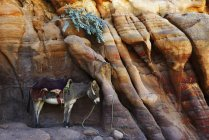Donkey resting at colorful rock formation in Petra, Wadi Musa, Jordan, Asia — Stock Photo