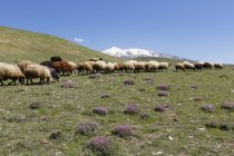 Flock of sheep on mountain pasture in Taurus Mountains, Bitlis Province, Eastern Anatolia Region, Turkey — Stockfoto