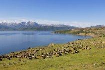 Flock of sheep at Lake Van in Bitlis Province, Eastern Anatolia Region, Turkey — Stock Photo