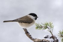 Marsh tit sitting on branch in winter, close-up — Stock Photo