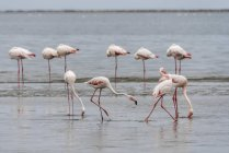 Greater flamingos standing in shallow water, Walvis Bay, Namibia, Africa — Stock Photo