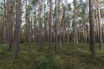 Pine tree trunks in coniferous forest — Stock Photo