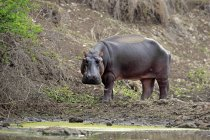 Hippo standing by water, Kruger National Park, South Africa, Africa — Stock Photo
