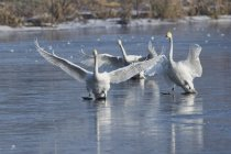 Cigni selvatici, atterrando sulla pista di ghiaccio — Foto stock