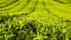 Natürlichen Muster der Teeplantage in Cameron Highlands, Pahang, Malaysia — Stockfoto