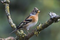 Brambling bird sitting on branch, close-up — Stock Photo