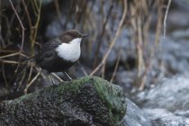 White-throated dipper sitting on stone in stream — Stock Photo