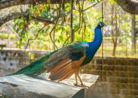 Blue peacock in zoo aviary, side view — Stock Photo