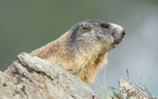 Marmot attentively sitting on rocks in Alps. — Stock Photo