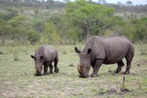 Breitmaulnashörner Fütterung auf Wiese im Kruger National Park, Südafrika, Afrika — Stockfoto