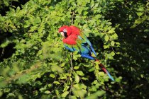 Rot-grüne Ara sitzen im grünen Baum laub — Stockfoto