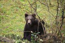 Orso bruno europeo cammina sul prato nel Parco nazionale della foresta bavarese, Germania, Europa — Foto stock