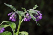 Close-up da planta de confrei comum florescer — Fotografia de Stock