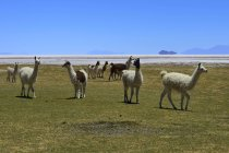 Llamas en el prado verde de Salar de Uyuni, Tahua, Potosí, Bolivia, Sur América - foto de stock