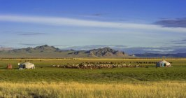 Flock of goats and yurts of nomads on grass with mountains in Mongolia, Asia — Stock Photo