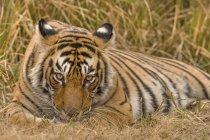 Tigre de Bengala descanso y aseo personal en bosque de Ranthambhore, India - foto de stock