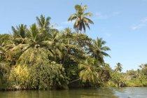 Árvores de mangue no rio, lagoa Hikkaduwa no Sri Lanka, sul da Ásia, Ásia — Fotografia de Stock