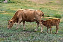 Cow with sucking calf grazing on green pasture — Stock Photo