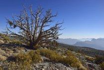 Ancient juniper tree on Jabal Shams plateau, Al Hajar al Gharbi mountains, Dakhiliyah, Sultanate of Oman, Asia — Stock Photo