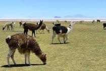 Лам в зелёный луг Салар де Уюни, Тахуа, Потоси, Боливия, Южная Америка — стоковое фото